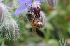 Honey Bee on Borage